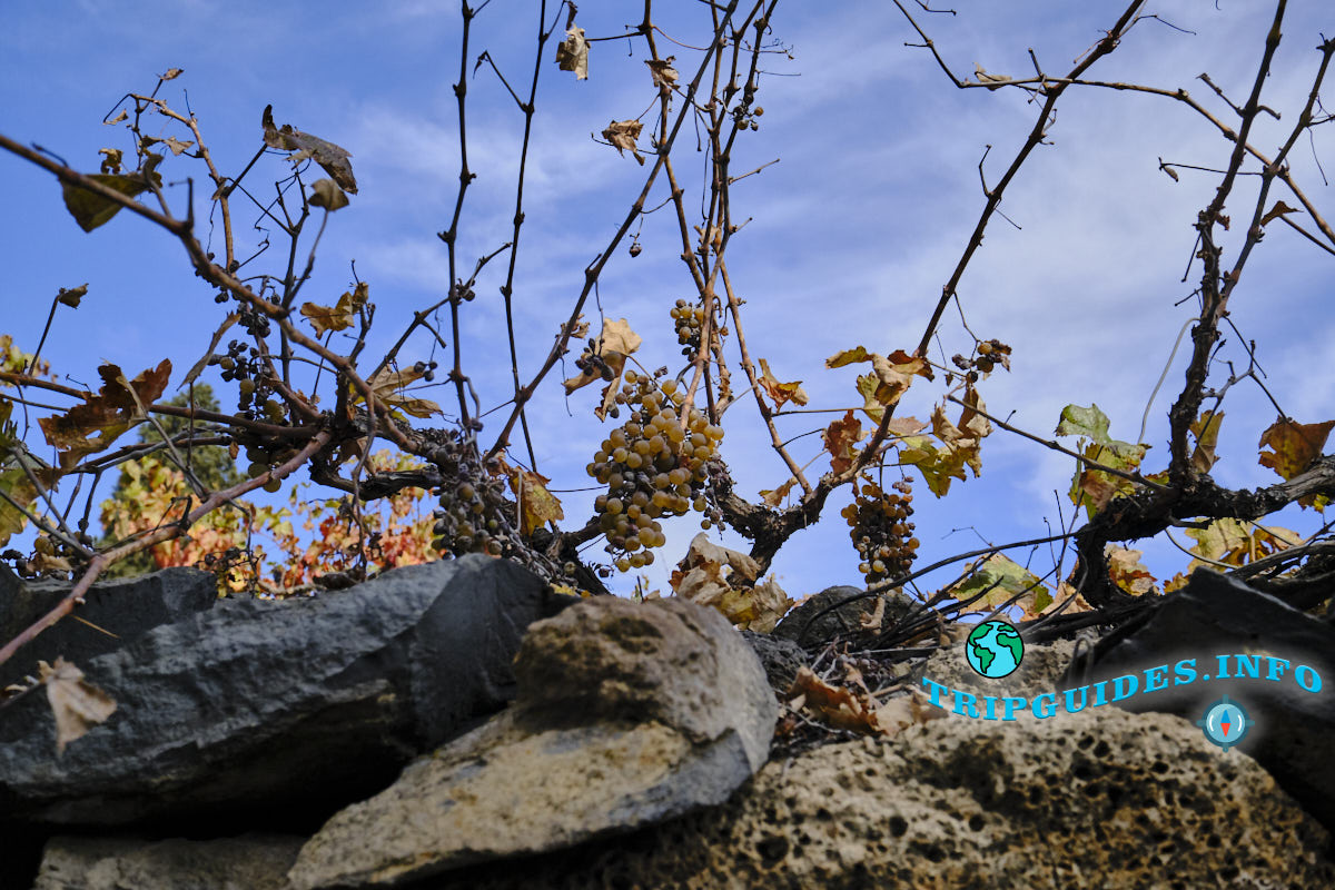 Виноград созрел в Вилафлор