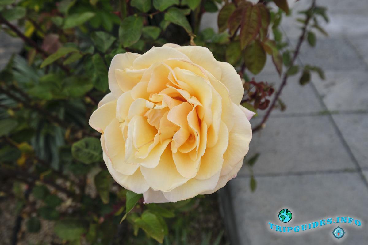 Цветущие розы в ноябре - Вилафлор, Тенерифе