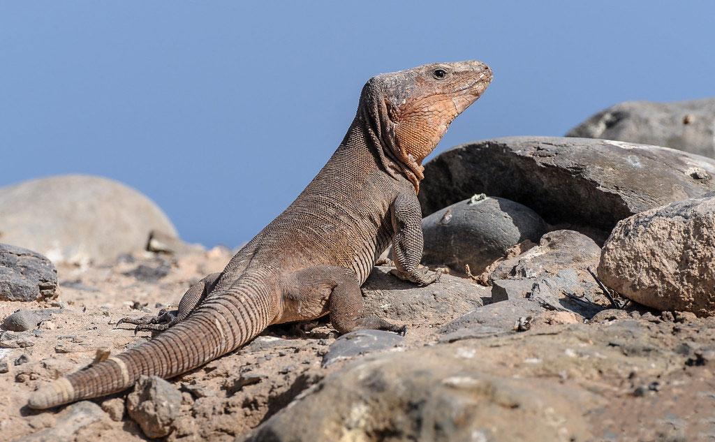 Гигантская ящерица на Гран-Канарии