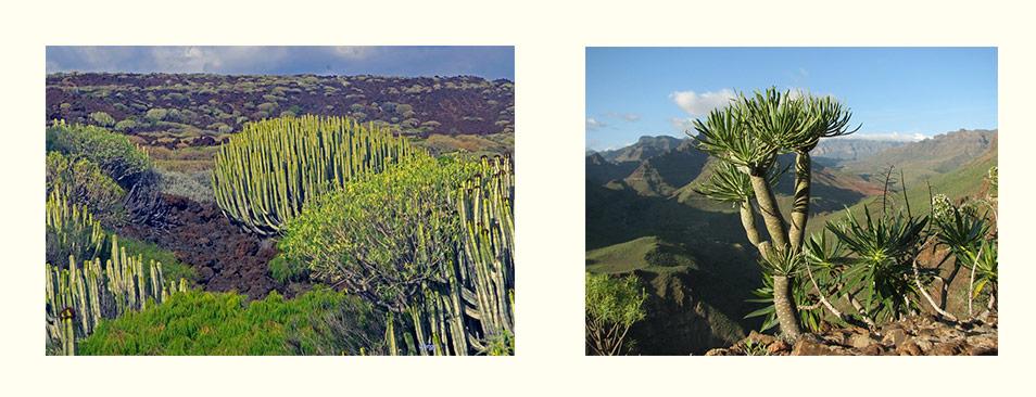 Табайба и Вероде - флора на Гран-Канарии