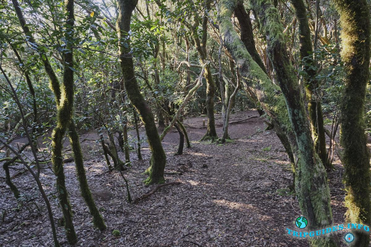 Жизнь на Тенерифе - вечнозеленые лавровые леса (Монтеверде)