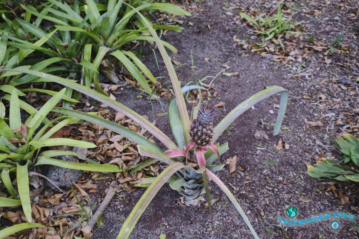 Ананас в Пальметум - пальмовый парк в Санта-Крус-де-Тенерифе, Канарские острова, Испания