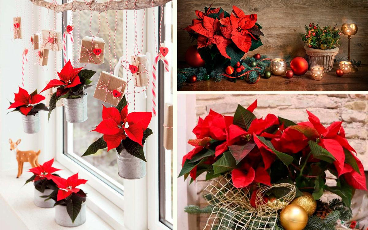 Новый год на Тенерифе - Красная «Рождественская звезда»