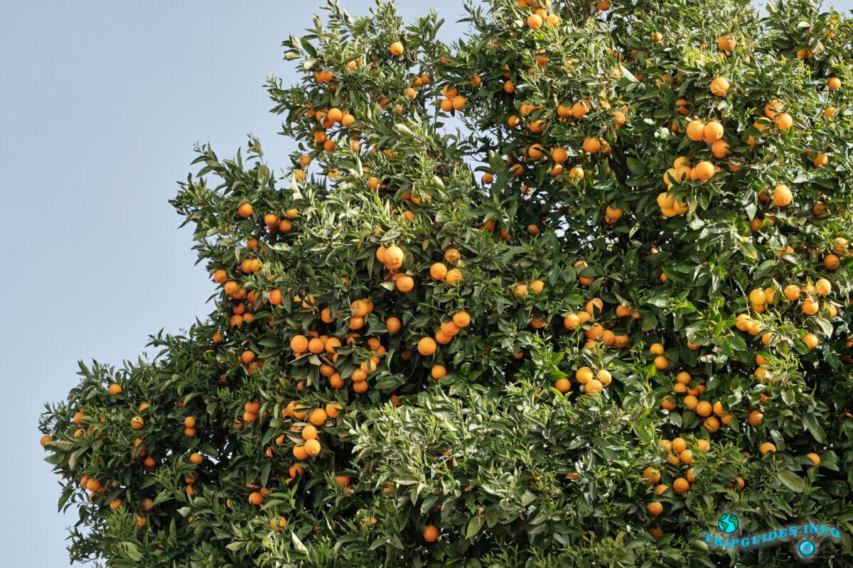 Апельсины на Тенерифе - Канарские острова - Испания