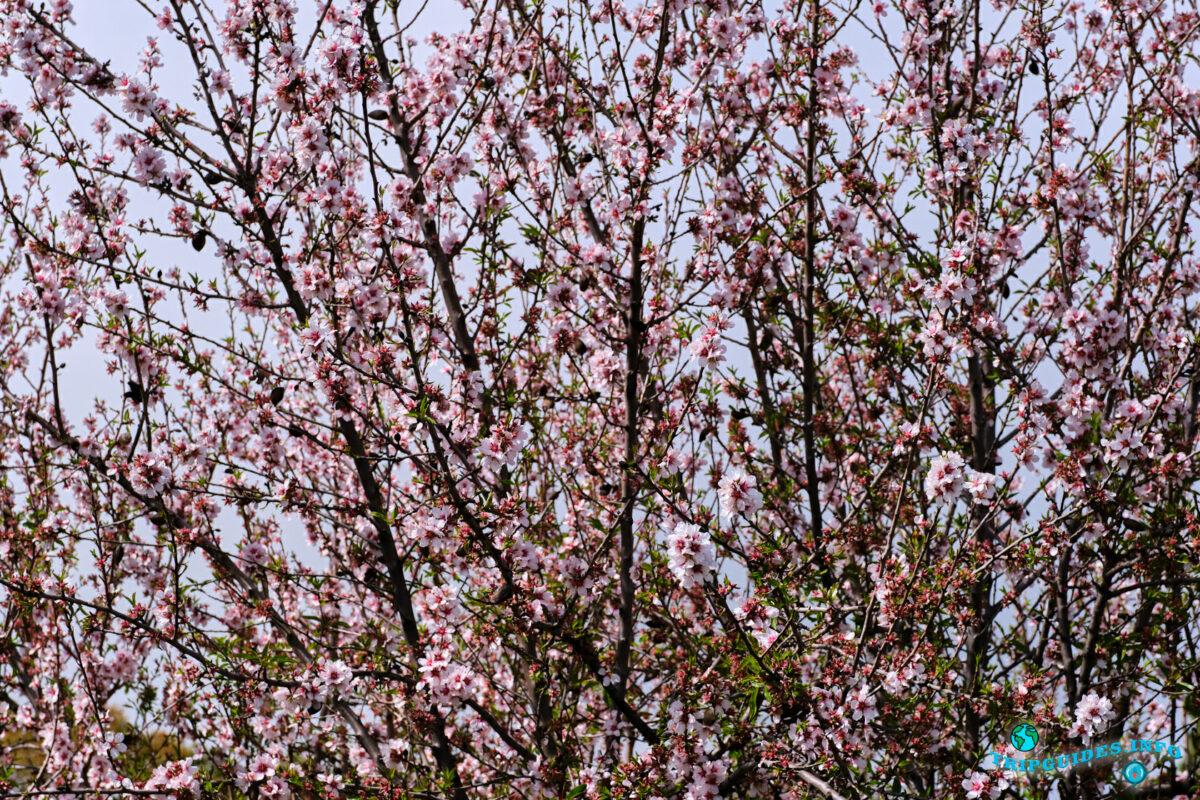 Цветение миндаля на Тенерифе - Канарские острова - Испания