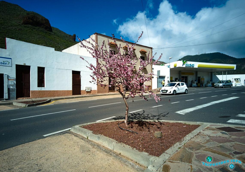 Цветение миндаля на проспекте Иглесия в Сантьяго-дель-Тейде на Тенерифе