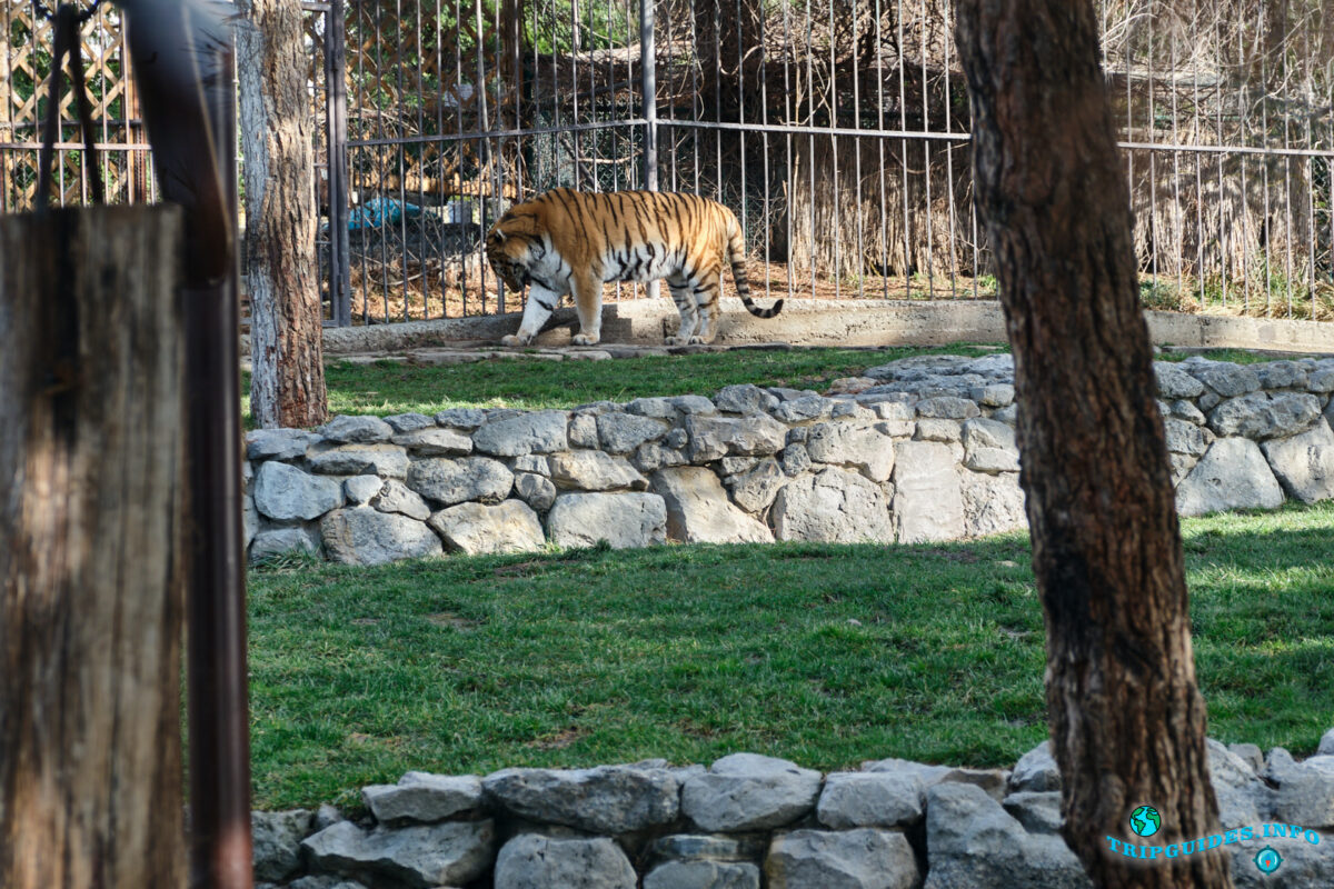 Животные в зоопарке (тигр) в Сафари-парк Геленджик