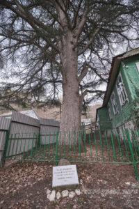 Кедр ливанский - Дом-музей Владимира Короленко, Джанхот