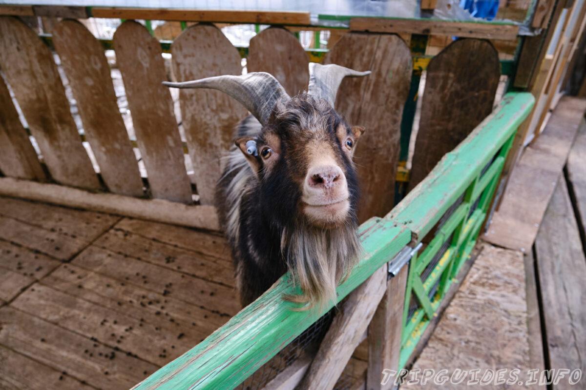 Зов Джунглей - Контактный зоопарк в Геленджике - Козлы