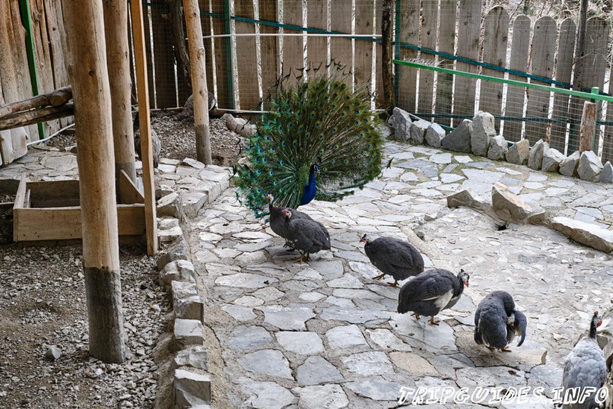 Зов Джунглей - Контактный зоопарк в Геленджике - Павлины и цесарки