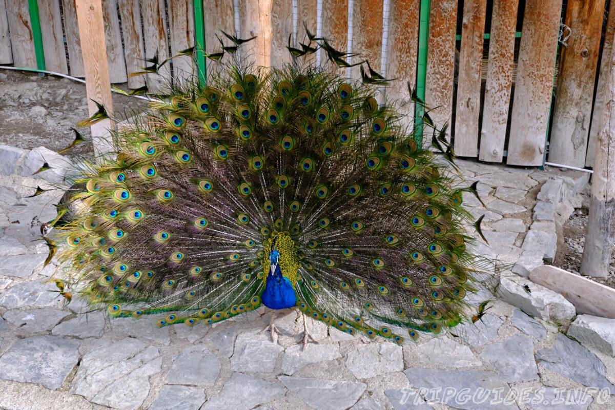 Зов Джунглей - Контактный зоопарк в Геленджике - Павлины