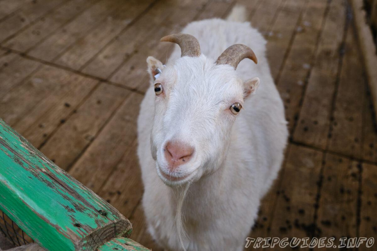 Зов Джунглей - Контактный зоопарк в Геленджике - Коза