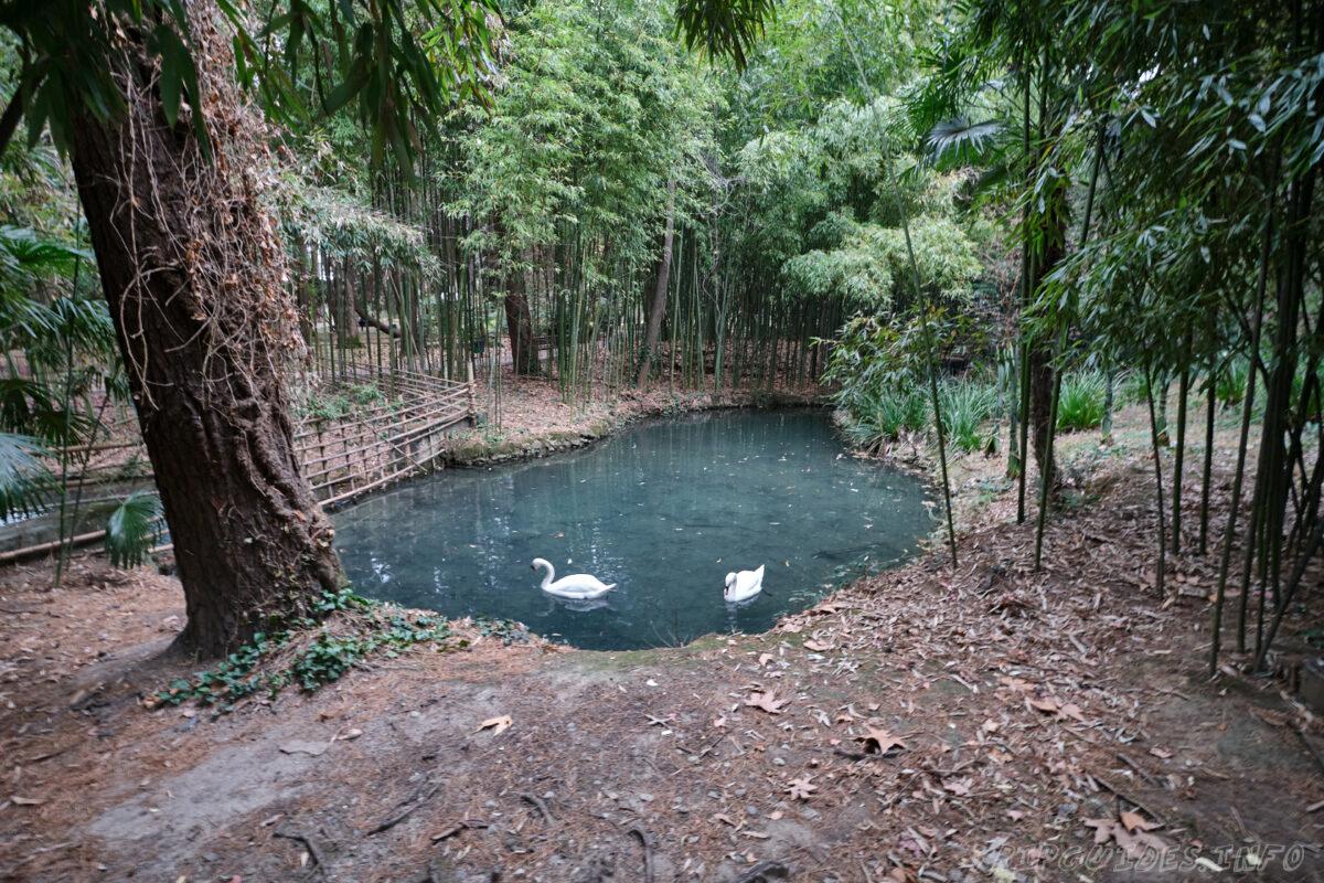 Сочинский дендрарий - нижний парк - пруд с лебедями
