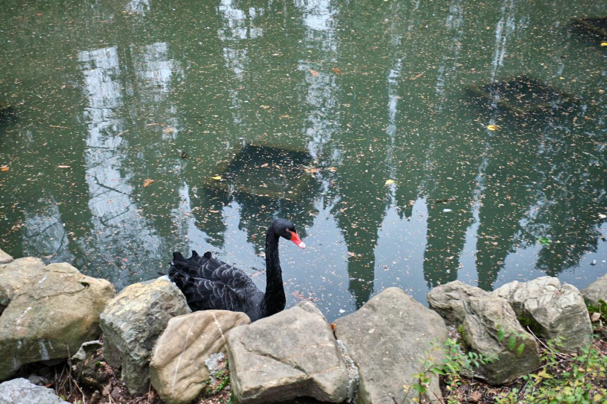 Сочинский дендрарий - нижний парк - черный лебедь
