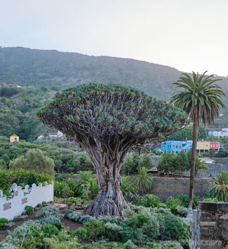 Драконовое дерево в Икод-де-Лос-Винос Тенерифе