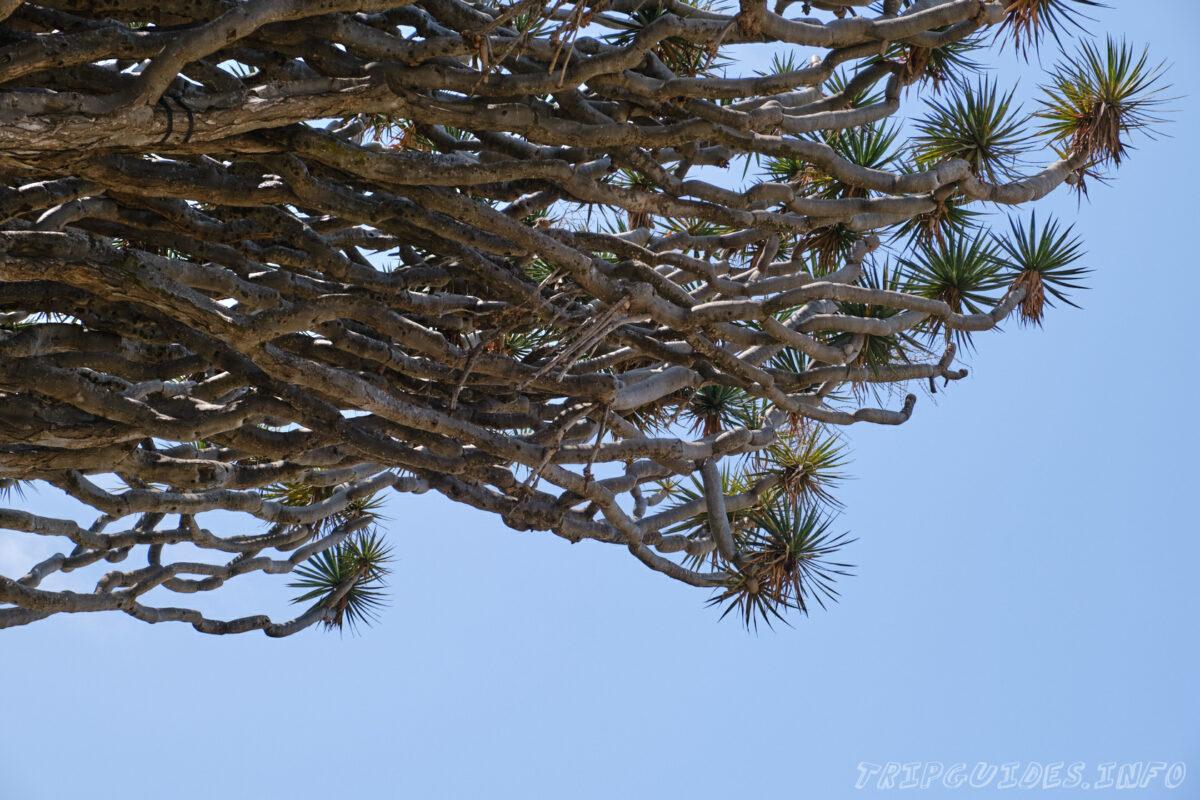 Ветки и листья Драконового дерева в Икод-де-Лос-Винос на Тенерифе в Испании