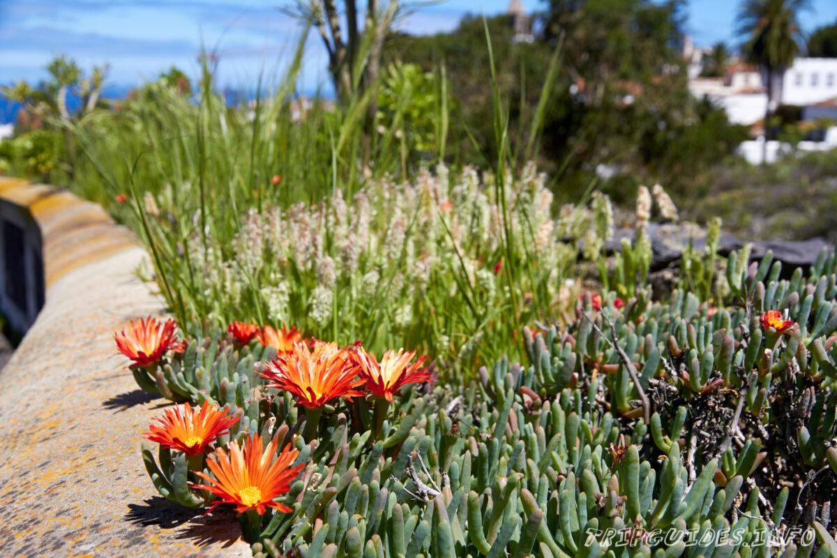 Цветы вечной в Икод-де-Лос-Винос на Тенерифе в Испании