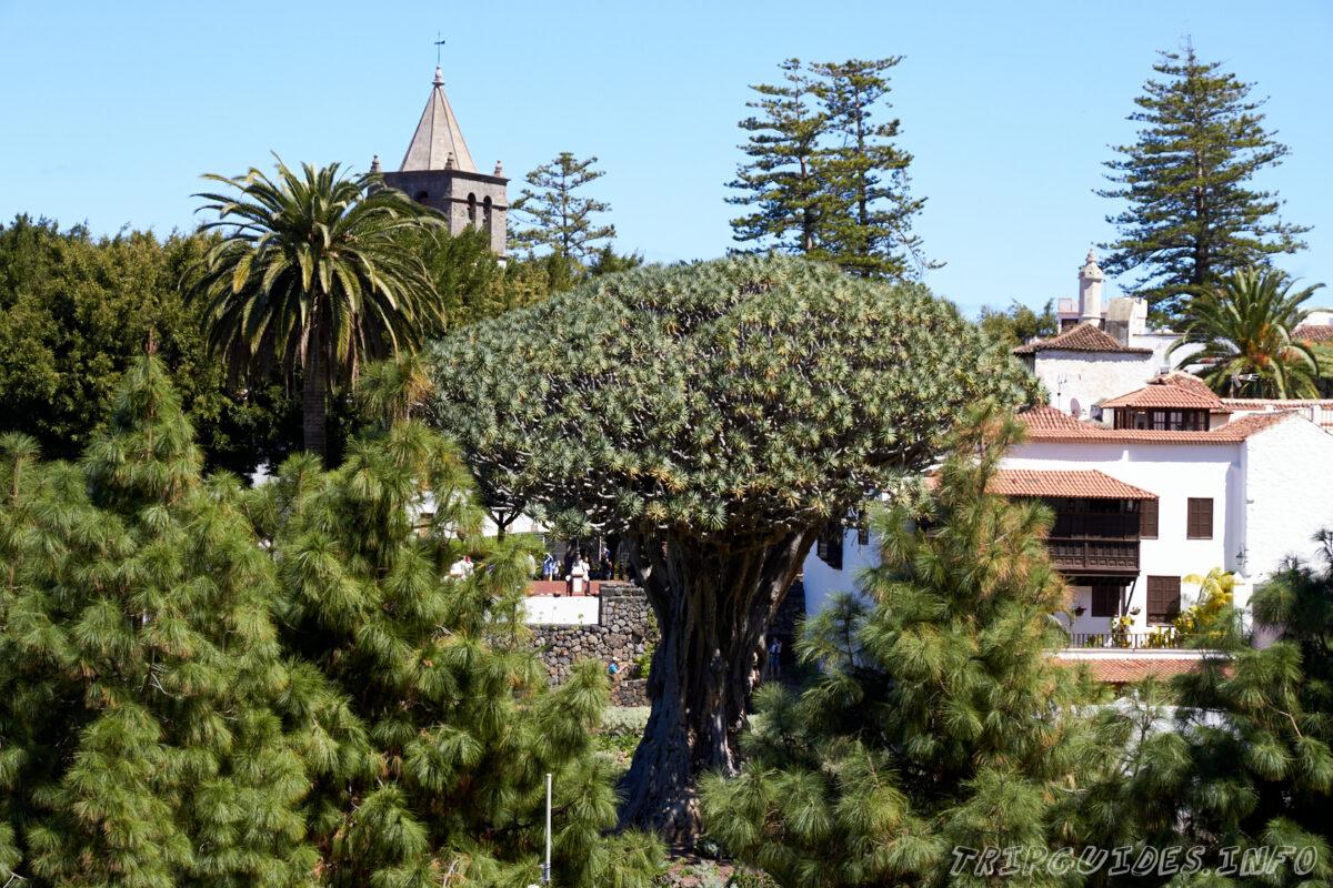 Драконовое дерево в Икод-де-Лос-Винос на Тенерифе в Испании